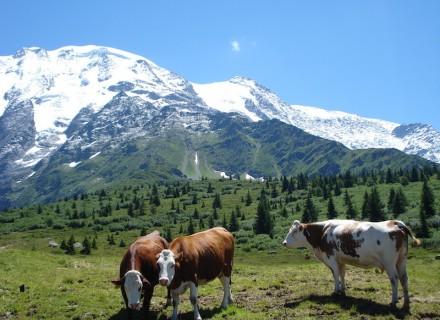 vaches au Truc